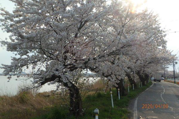 鳥屋野潟の桜が満開です