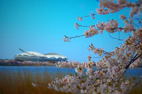 鳥屋野潟の桜が満開です!