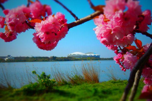 鳥屋野潟の桜です。